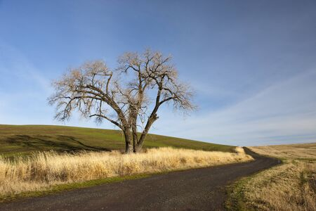palouse: Old tree on the Palouse