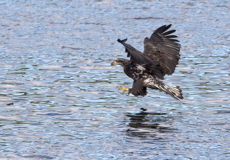 Junior eagle swoops in  photo