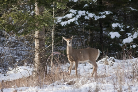 hayden: Deer next to snowy tree  Stock Photo