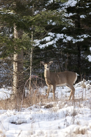 Deer stands by tree  Stock Photo - 17210956