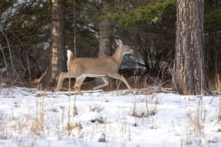 Whitetail deeer walking near trees Stock Photo - 17210972