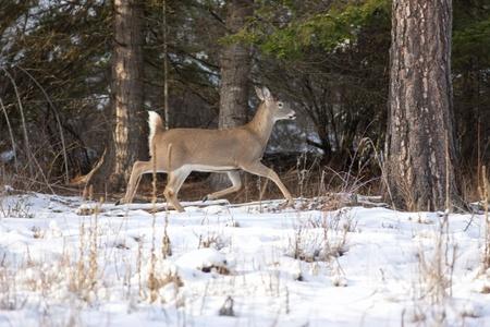 Whitetail deeer walking near trees Stock Photo - 17210972