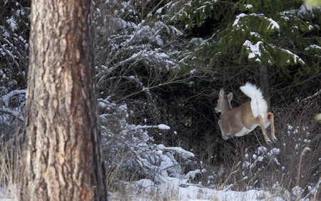 Whitetail deer flees into woods Stock Photo - 17210954