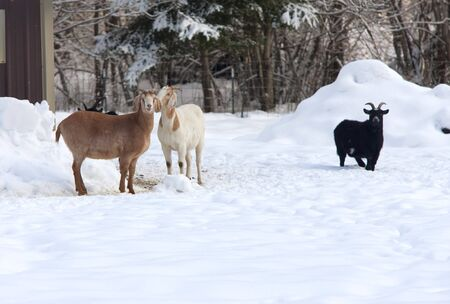 Three goats stand in the snow in their pasture Stock Photo - 17447475