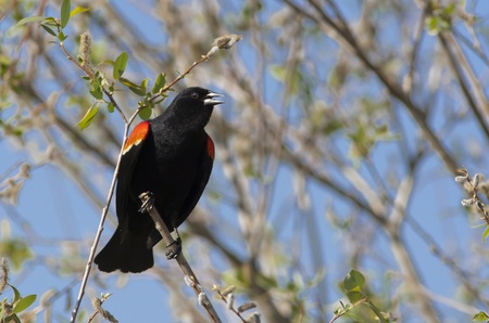 red winged: Red winged black bird singing
