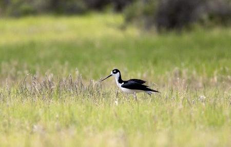 necked: Kleine zwarte hals steltenlopers
