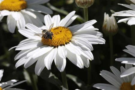 gathers: Ape raccoglie il polline Archivio Fotografico