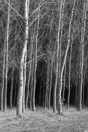 b and w: B W of trees