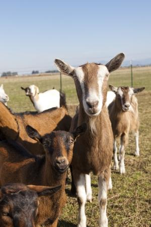hayden: Goats in the pasture in Hayden, Idaho  Stock Photo