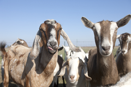 hayden: Goats hamming it up in Hayden, Idaho  Stock Photo