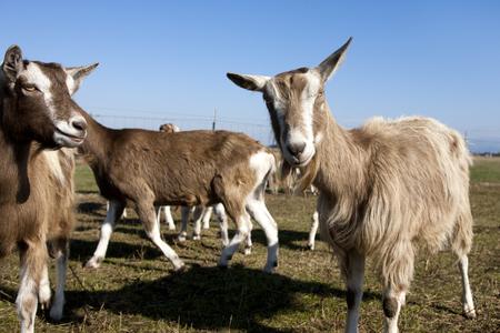 hayden: Goat looking at camera in Hayden, Idaho