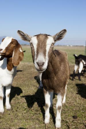 hayden: Goat portrait in Hayden, Idaho  Stock Photo