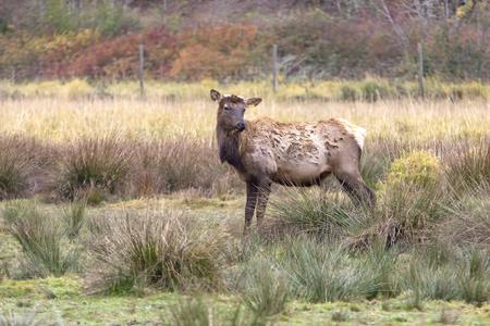 near side: Side view of farm raised elk near Rose Lake, Idaho  Stock Photo