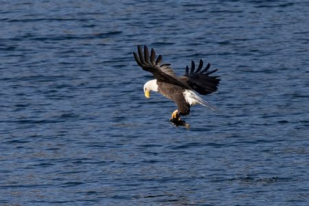 alene: Eagle adjusts fish in claws
