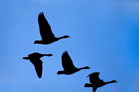 Silhouette of geese in sky  photo