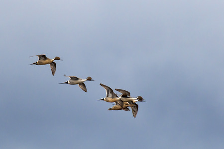 Pintail ducks flying in a group in the sky  Reklamní fotografie
