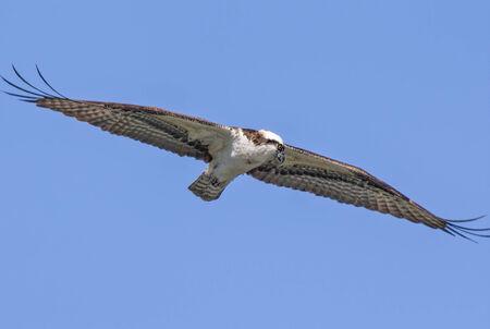 osprey: Osprey with wings spread