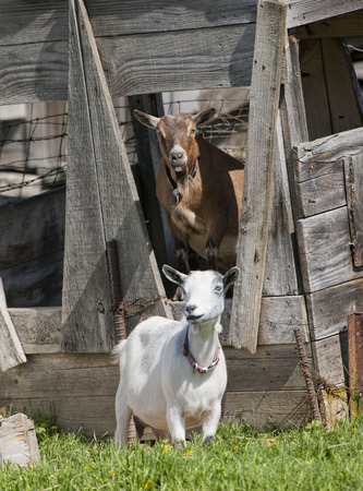 hayden: Two goats near Hayden, Idaho