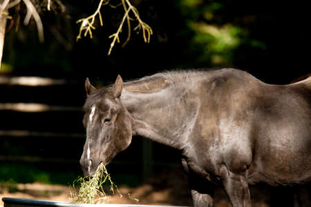 hayden: Black horse eating straw near Hayden, Idaho  Stock Photo
