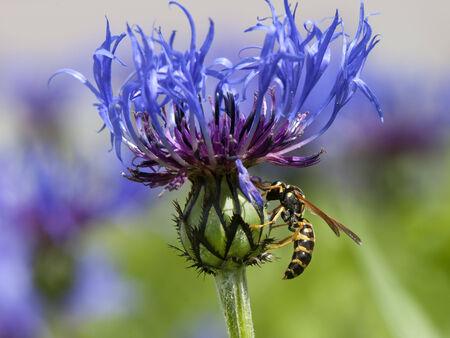 gathers: Yellow Jacket raccoglie il polline