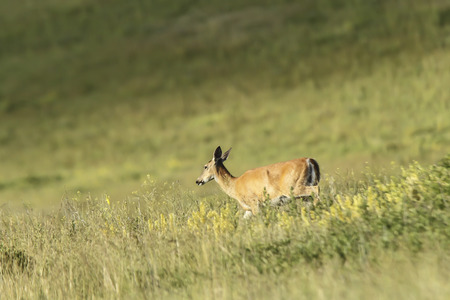 white tail deer: White tail deer in Montana  Stock Photo