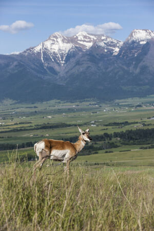 wildlife refuge: Antelope on hill with mountains