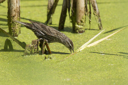 red winged: Perched female red winged blackbird  Stock Photo