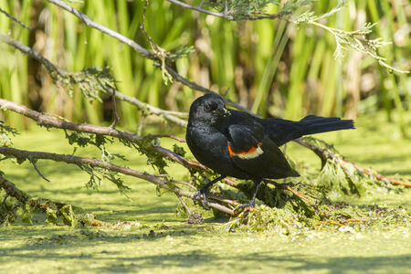 red winged: Red winged blackbird in swamp