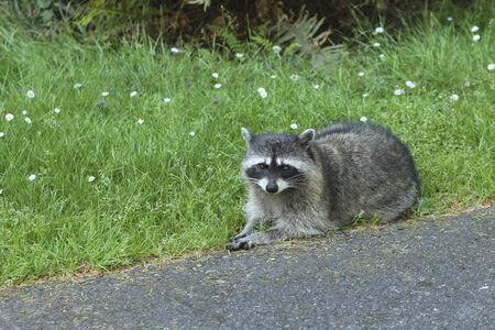 racoon: Racoon przy drodze