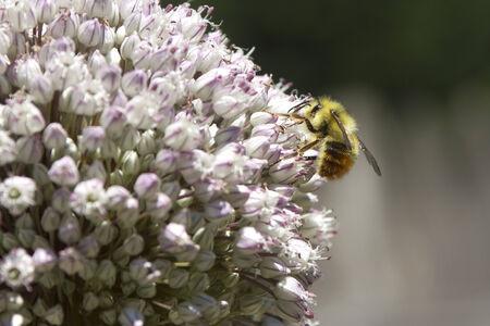 gathers: Ape raccoglie polline