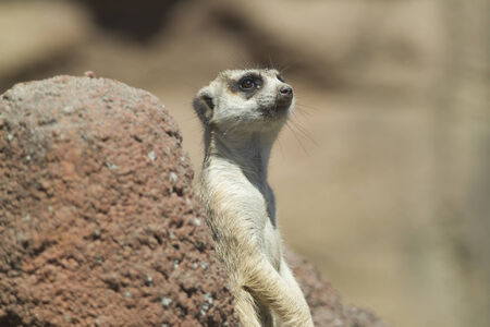 defiance: Cute meerkat at the Point defiance Zoo