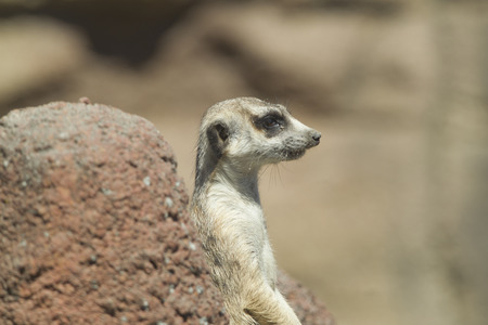 defiance: Side profile of meerkat at the Point defiance Zoo
