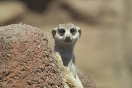 tacoma: Meerkat looks at camera at the Point defiance Zoo