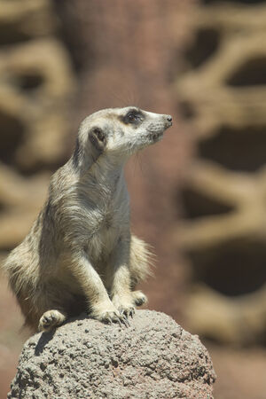 defiance: Meerkat on rock at the Point defiance Zoo  Stock Photo