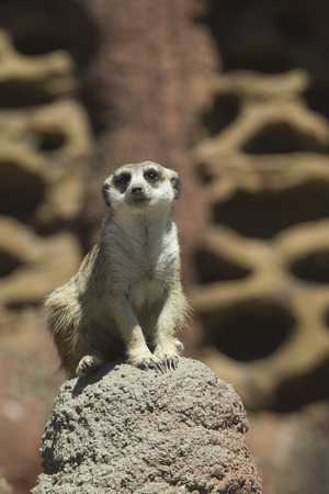 defiance: Meerkat sits on rock at the Point defiance Zoo