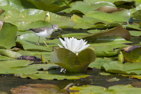 lilypad: Sandpiper by water lily.