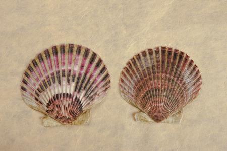 fan shaped: Two scallop shells.