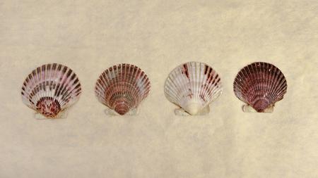 fan shaped: Scallop shells panoramic. Stock Photo