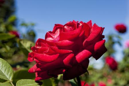 platinum: Precious platinum rose