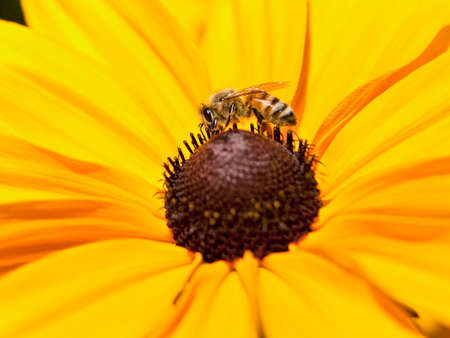 bee on daisy.