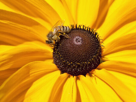 susan: Bee on black eyed susan.