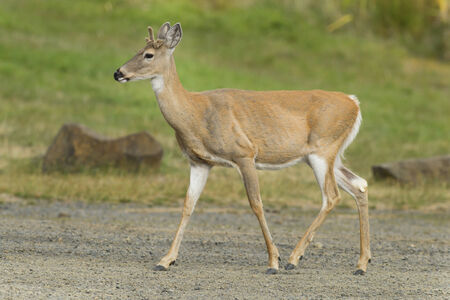 white tailed deer: White tailed deer in park.