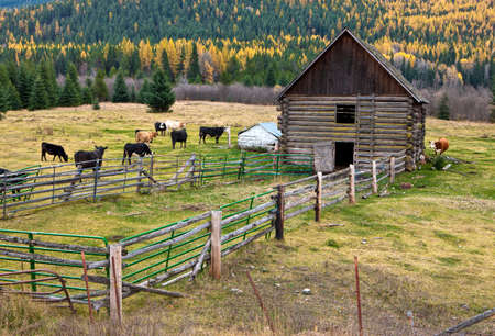 Cows in barnyard. photo