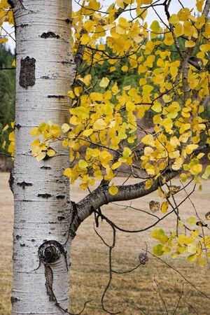 黄色の葉と白樺の木のそばに。 写真素材