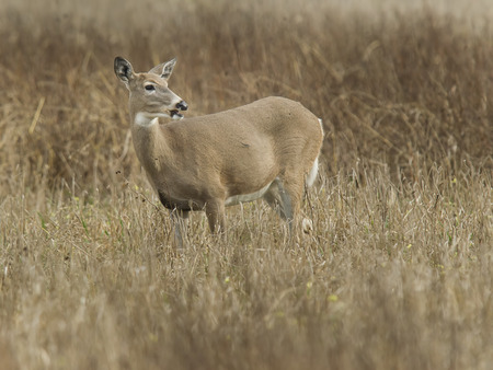 white tail deer: A small white tail deer in the field in Kootenai Wildlife Refuge. Stock Photo