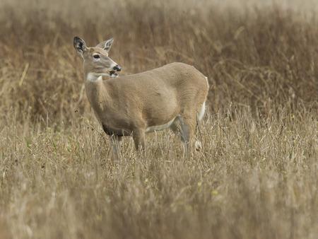 white tail: Una piccola coda cervo bianco in campo in Kootenai Wildlife Refuge.