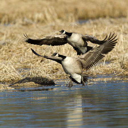 canadian geese: Two Canadian Geese fly in for a landing in the water.