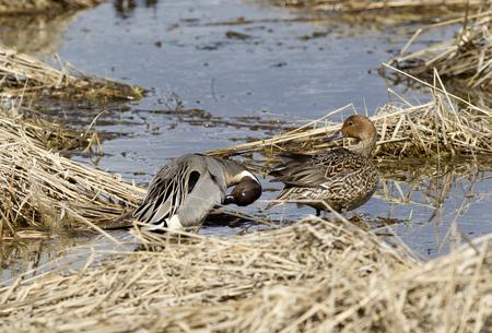 Male and female waterfowl near Hauser Lake, Idaho. photo