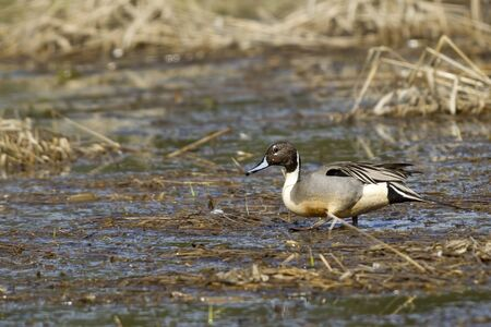 wetlands: Pintail wades through wetlands.