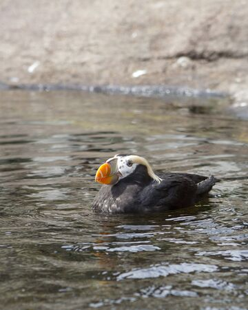 puffin: Puffin in the water at the Newport, Oregon aquarium. Stock Photo